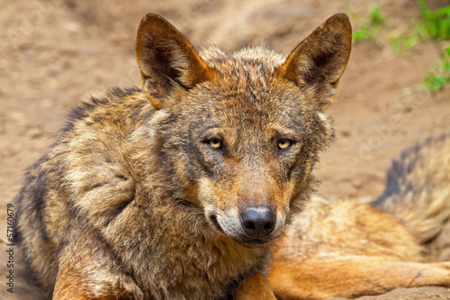 Iberian wolf in the zoo. Headshot.