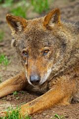 Iberian wolf in the zoo. Headshot.