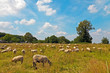 Cattle of sheep grazing in meadow with blue cloudy sky. Zuid Lim
