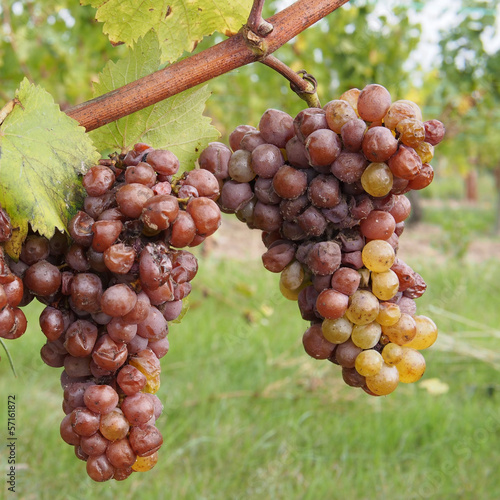 canvas print picture Botrytised Chenin grape, early stage, Savenniere, France