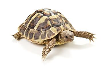 tartaruga isolata su sfondo bianco