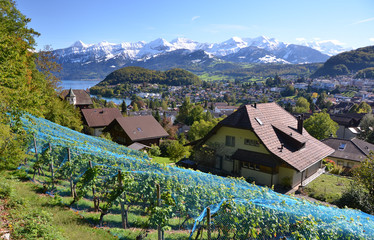 Vineyards in Spiez, Switzerland