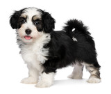 A beautiful happy tricolor havanese puppy dog is standing