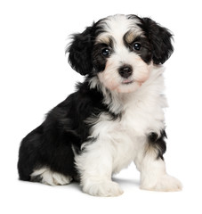 A beautiful sitting tricolor havanese puppy dog