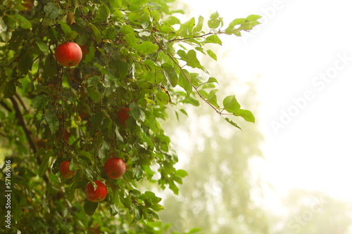 Keuken foto achterwand Tuin Red apple growing on tree. Natural products.
