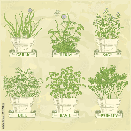 herbs in pot, garlic, parsley, dill, sage and basil, vintage
