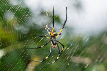 Golden Silk Orb Weaving Spider on Web