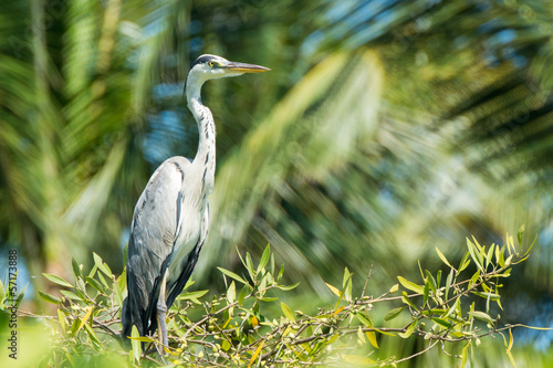 Grey Heron on tree