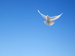 canvas print picture - White dove flying in the sky