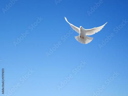 Fotobehang Vogel White dove flying in the sky