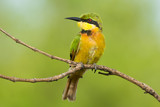 Little Bee-Eater Perching