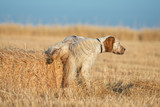 Brown Dotted Setter peeing