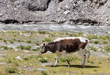 Cow grazing on the Tibetan plateau near a river