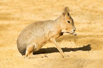 Mara or Patagonian hare 1 - y