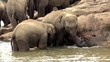 Elephant babies are bathing & playing in Maha Oya river.