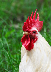 White Rooster Portrait, Close up on Nature Background