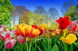 Fresh multicolored tulips