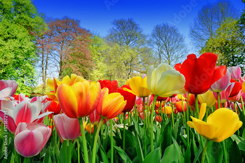 Fresh multicolored tulips