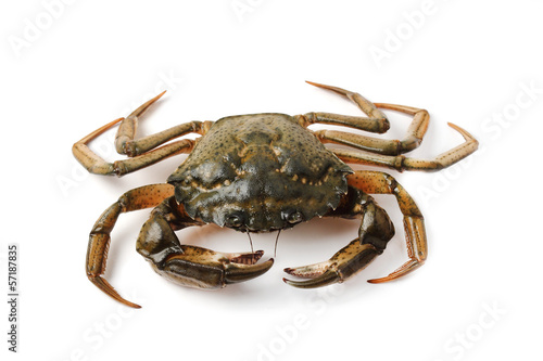 Littoral crab (Carcinus aestuarii) isolated on white