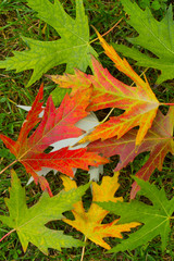 maple leaves colorful