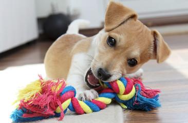 Jack Russell Terrier Welpe kaut an seinem Spielzeug
