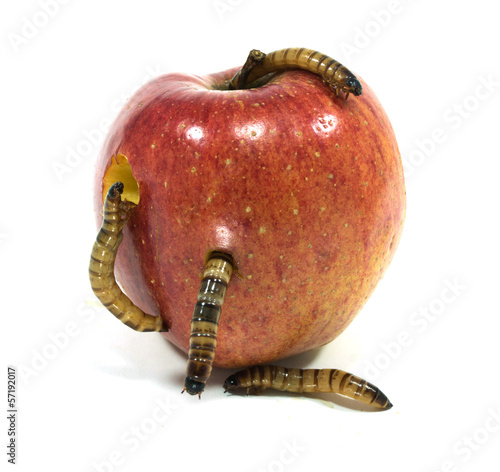 worm is coming out of bitten apple