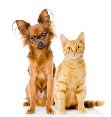 Russian toy terrier and red cat sitting in front. isolated