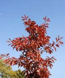 red oak tree with multicolor leaves