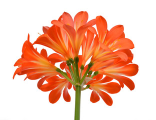 Orange Clivia miniata isolated on white