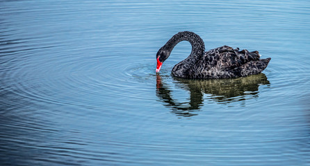 The red bill black swan in a wetland park, Malaysia
