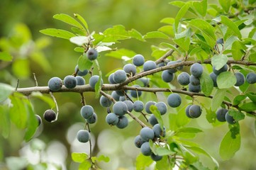 Blackthorn (Sloe or Prunus Spinosa) on Tree Branch