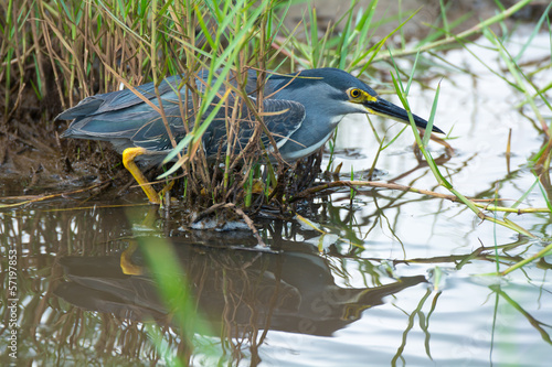 Striated Heron Hunting