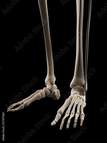 medical illustration of the skeletal foot
