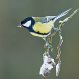 Great Tit in a winter setting