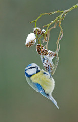 Blue tit in a winter setting