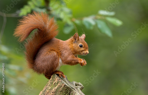 Tuinposter Eekhoorn Red Squirrel in the forest