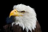 Eagle - Adler