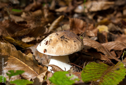 The cep in the autumn forest