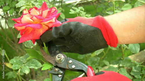 Cutting the rose bushes