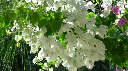 White Flower Bougainvillea