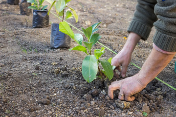 Garden worker hands carefully plant  4