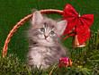 Cute gray kitten