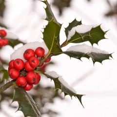 Branche de houx sous la neige, carré