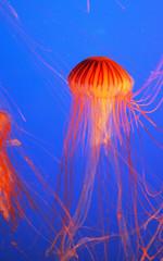 Yellow-orange jellyfish with thin feelers