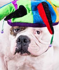 american bulldog in funny cap