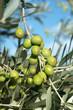 Olive su pianta