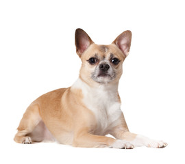 Lying cute straw-colored doggy, isolated