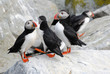 Cluster of Puffins