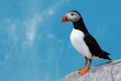 Puffin with Blue Sky Background