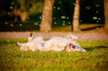 happy golden retriever dog rolling on the grass